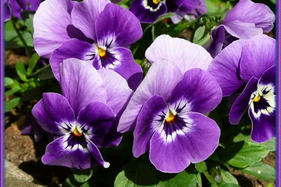 Моя Мадонна : Как продлить яркое цветение комнатных растений : Статьи
