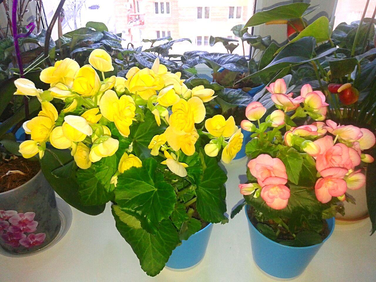 Бегония - уход в домашних условиях, цветение, размножение 83